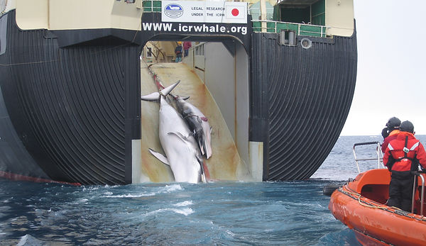 Japan harvesting Minke whales