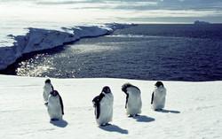 Adelie penguins on ice