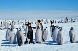 Emperor Penguin Rookery