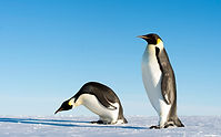 """Emperor Penguins (11240321653)"" by Christopher Michel from San Francisco, USA - Emperor Penguins. Licensed under CC BY 2.0 via Wikimedia Commons - https://commons.wikimedia.org/wiki/File:Emperor_Penguins_(11240321653).jpg#/media/File:Emperor_Penguins_(11240321653).jpg"