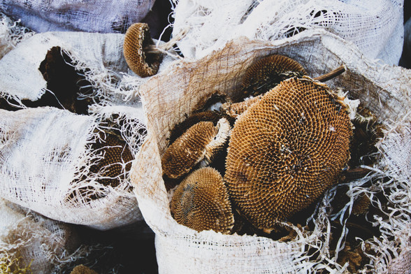 Dried sunflower heads, Malawi