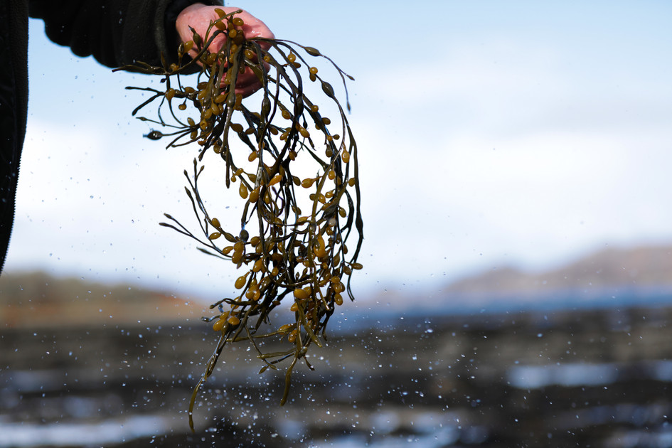 EleanorChurch_Bladdewrack_Seaweed_Scotla