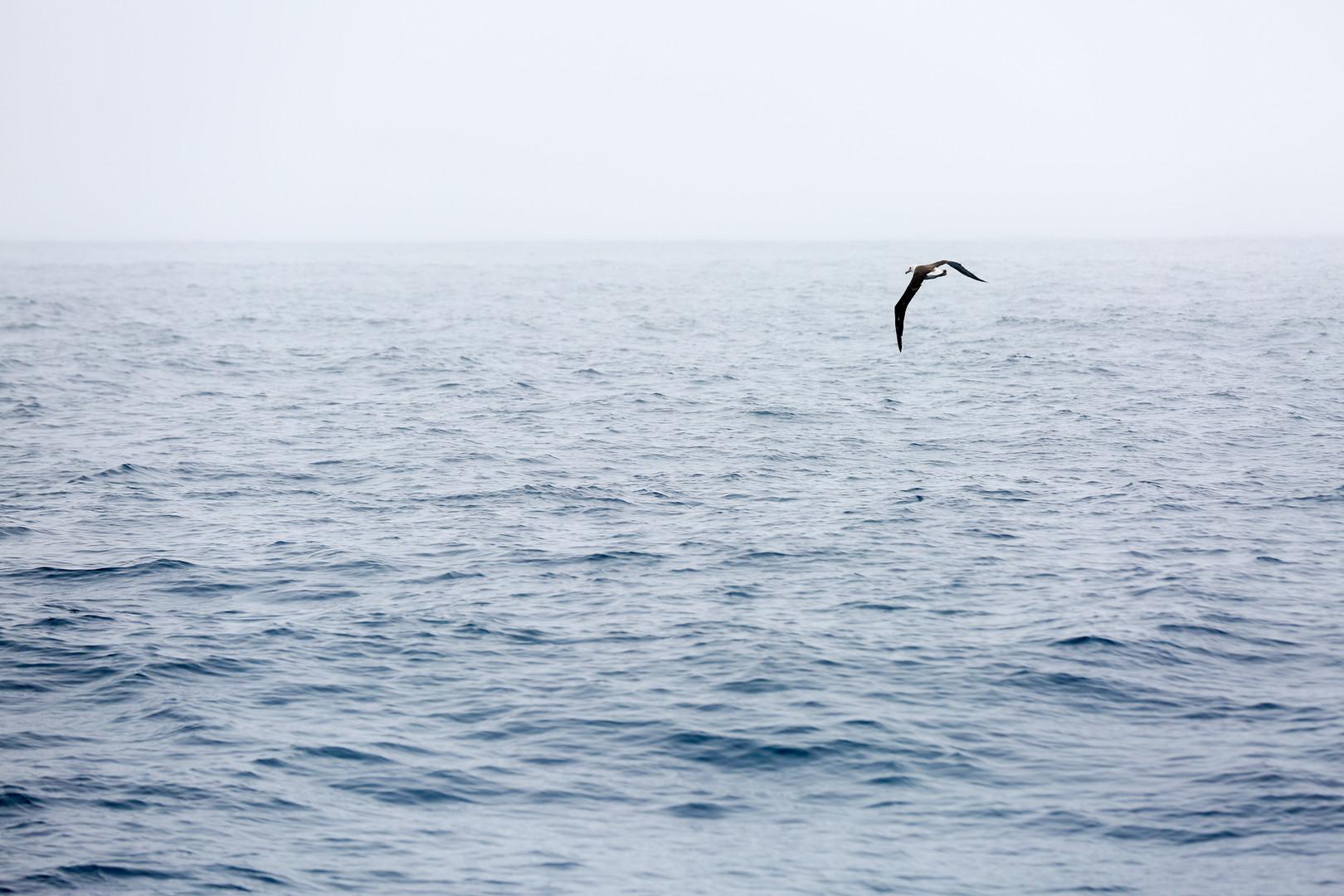 2 Albatross