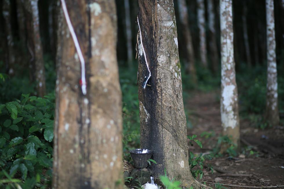 Rubber plantation in Liberia