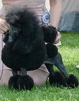 той пудель чёрного цвета. Toy poodle black Le Rouge Feerique Petit Nuage