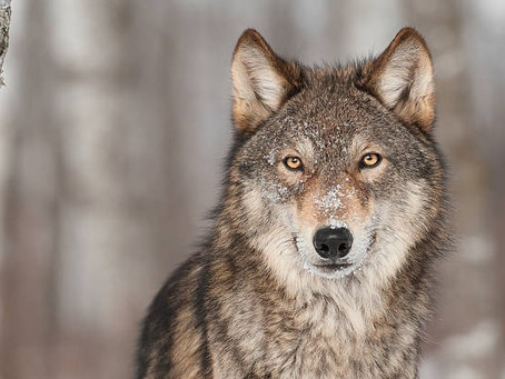 Alexander's Wolves: How Hypnotherapy Can Help with Anxiety