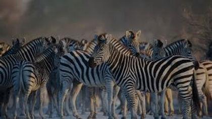 zebras_edited.jpg