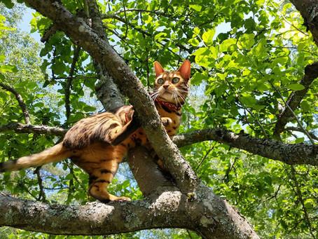 5 årsaker til at katten har god balanse og hvorfor den klarer å bevege seg så smidig og presist!