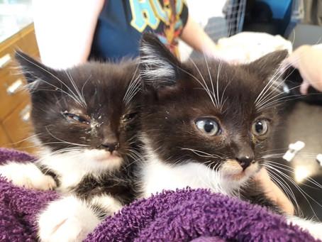 Herpesviruset (FHV), Å ja katter kan få Herpes de også.