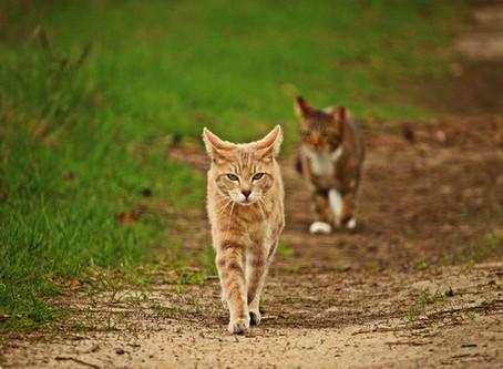 Forskjellen på huskatt og rasekatt. Hva er en husløs katt og kattekoloni? lær mer her!