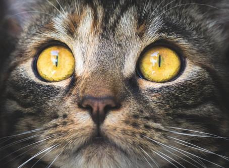 13 Fakta om kattens øyne og lær litt mer om synet til katten din.