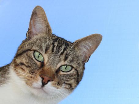 12 Fakta om kattens ører og hva den hører