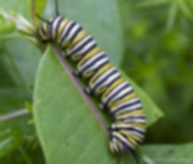 caterpillar-03-monarch.jpg