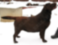 щенки лабрадора ретривера