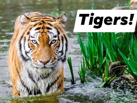 Ranger Stu's Fun Fact Friday - Tigers!