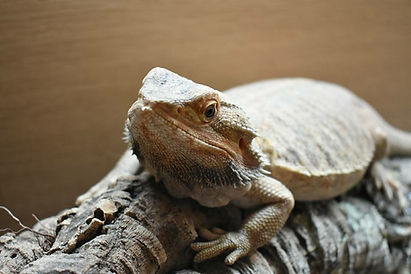 bearded dragon animal party