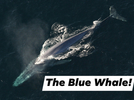 Ranger Stu's Fun Fact Friday - Blue Whale!
