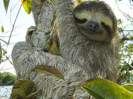 Ranger Stu's Fun Fact Friday - The Sloth!