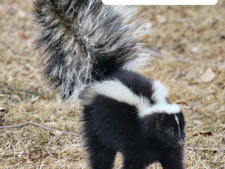 Ranger Stu's Fun Fact Friday - Skunks!