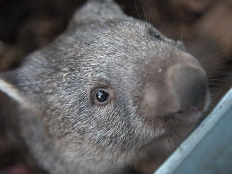 Ranger Stu's Fun Fact Friday - Wombats!