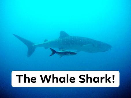Ranger Stu's Fun Fact Friday - The Whale Shark!