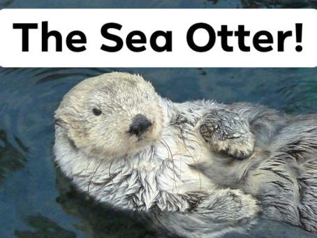 Ranger Stu's Fun Fact Friday - The Sea Otter!
