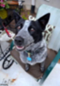 Releashed Rescue Adotped Foster Dog Blue