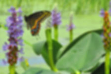 Pickerel weed.jpg