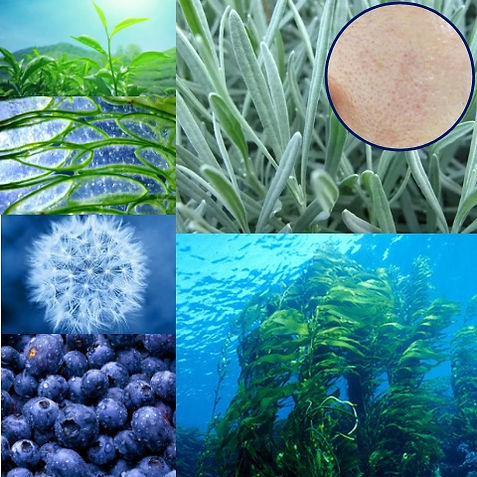 Organic tea, bilberry, kelp, dandelion, aloe, rosemary