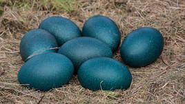 emu-eggs-by-christine-bairstowjpg