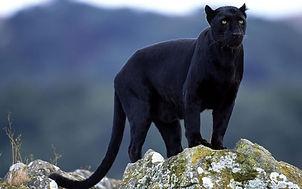 panther (1).jpg