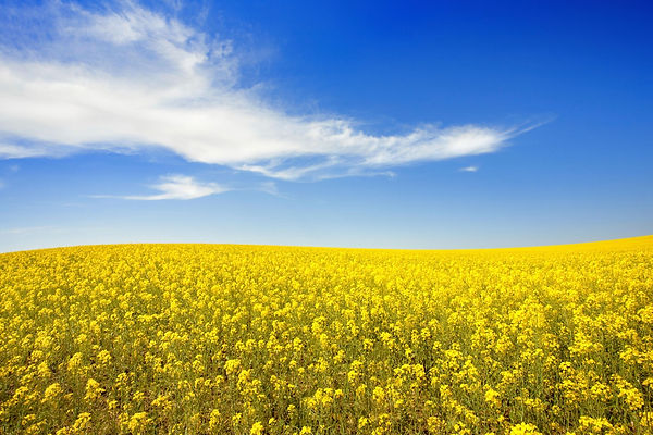 bright yellow canola field with a blue sky and clouds in Alberta