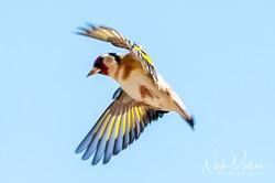 Glod Finch
