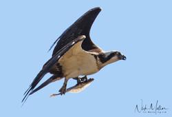 Osprey c