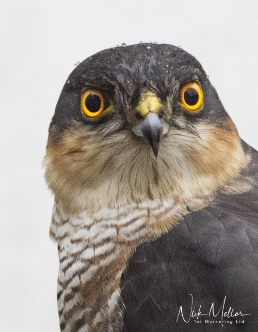 Sparrow Hawk Close up