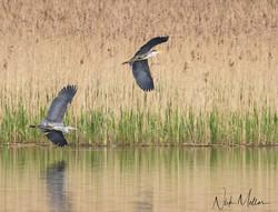 Grey Heron's in flight