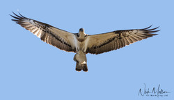 Osprey a
