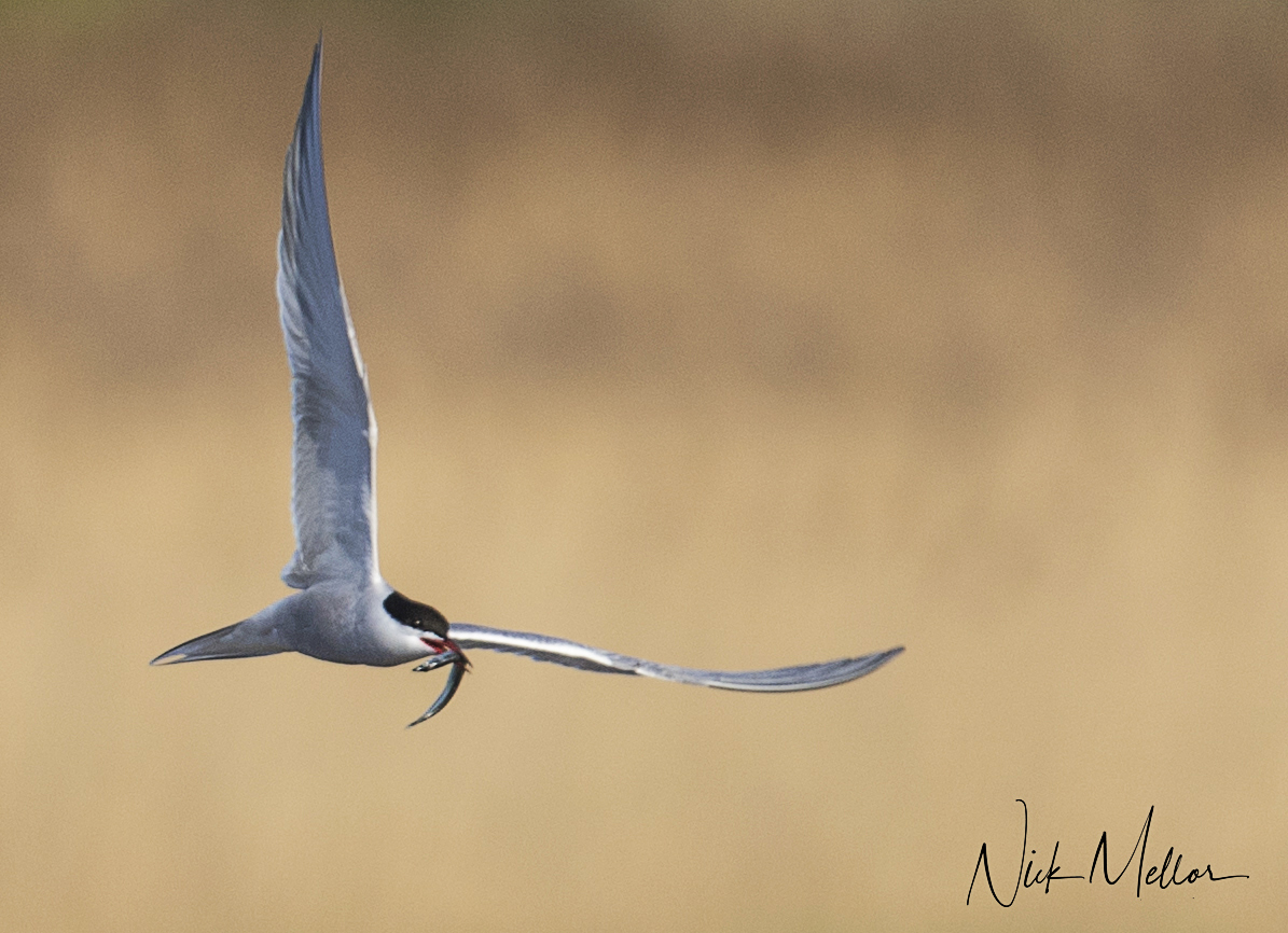 Common Tern a