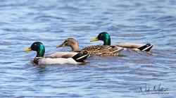 Mallard Duck's