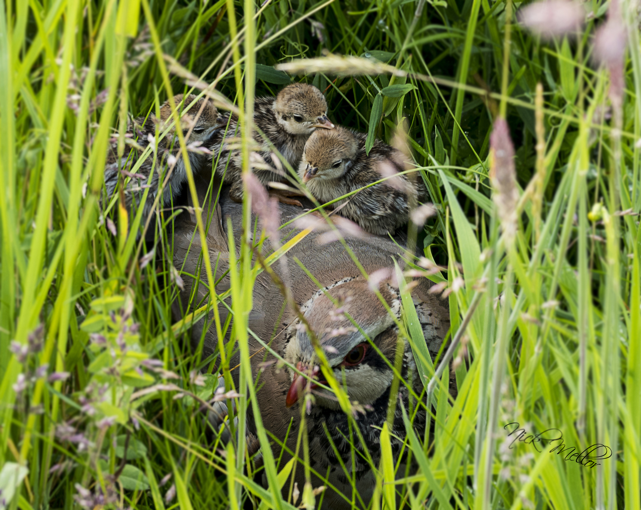 Mother Partridge and Chicks