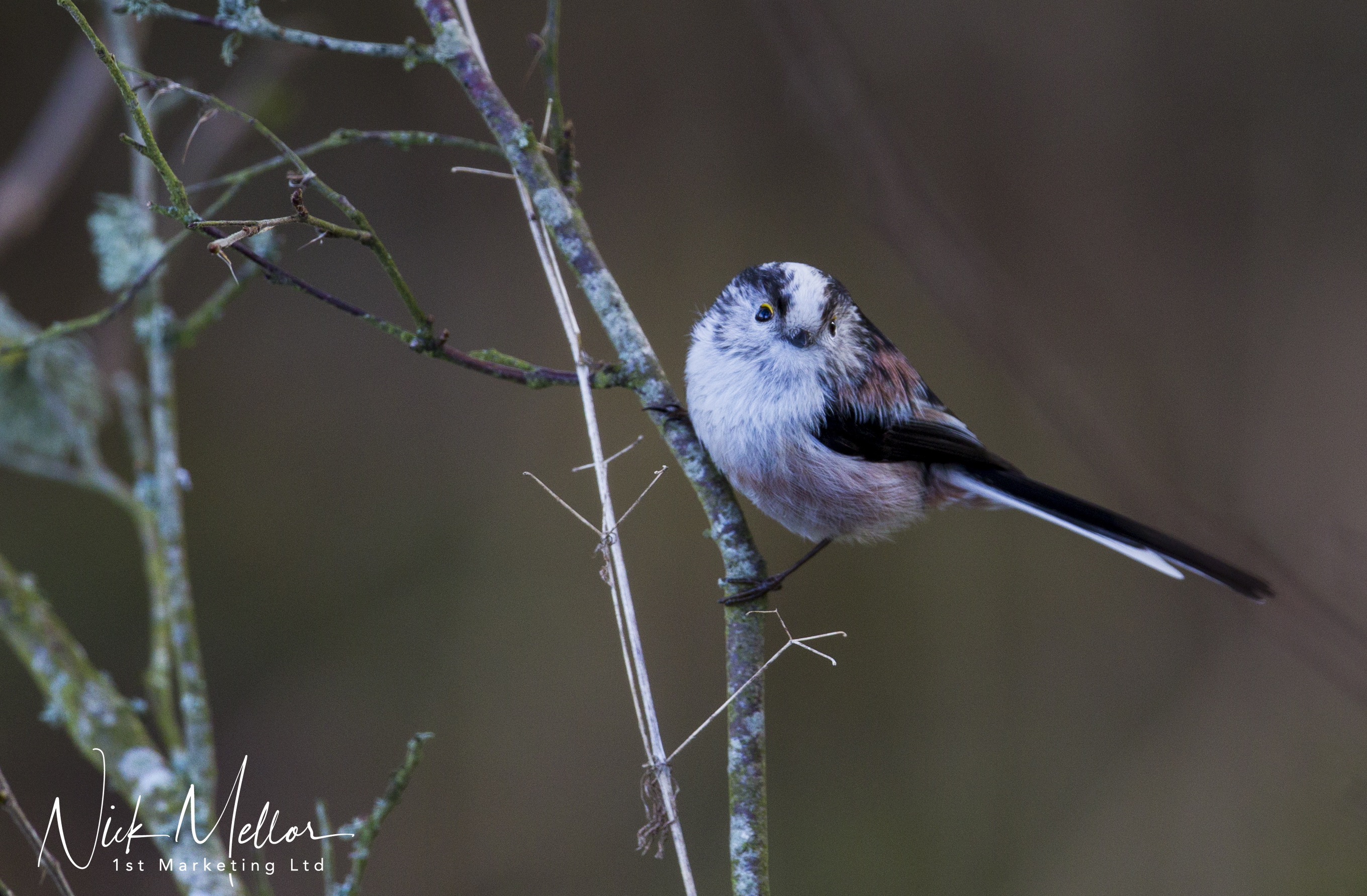 Long Tailed Tit 2