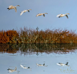Mute Swan Family Landing