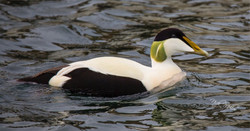 Male Eider Duck