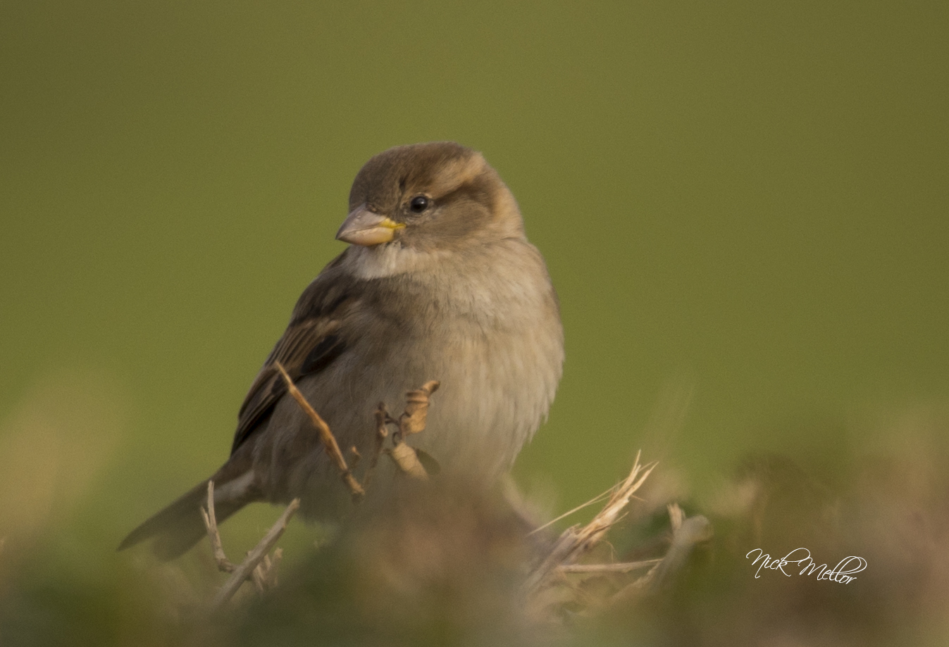 Female Hedge Sparrow