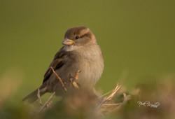 Female Hedge Sparrow