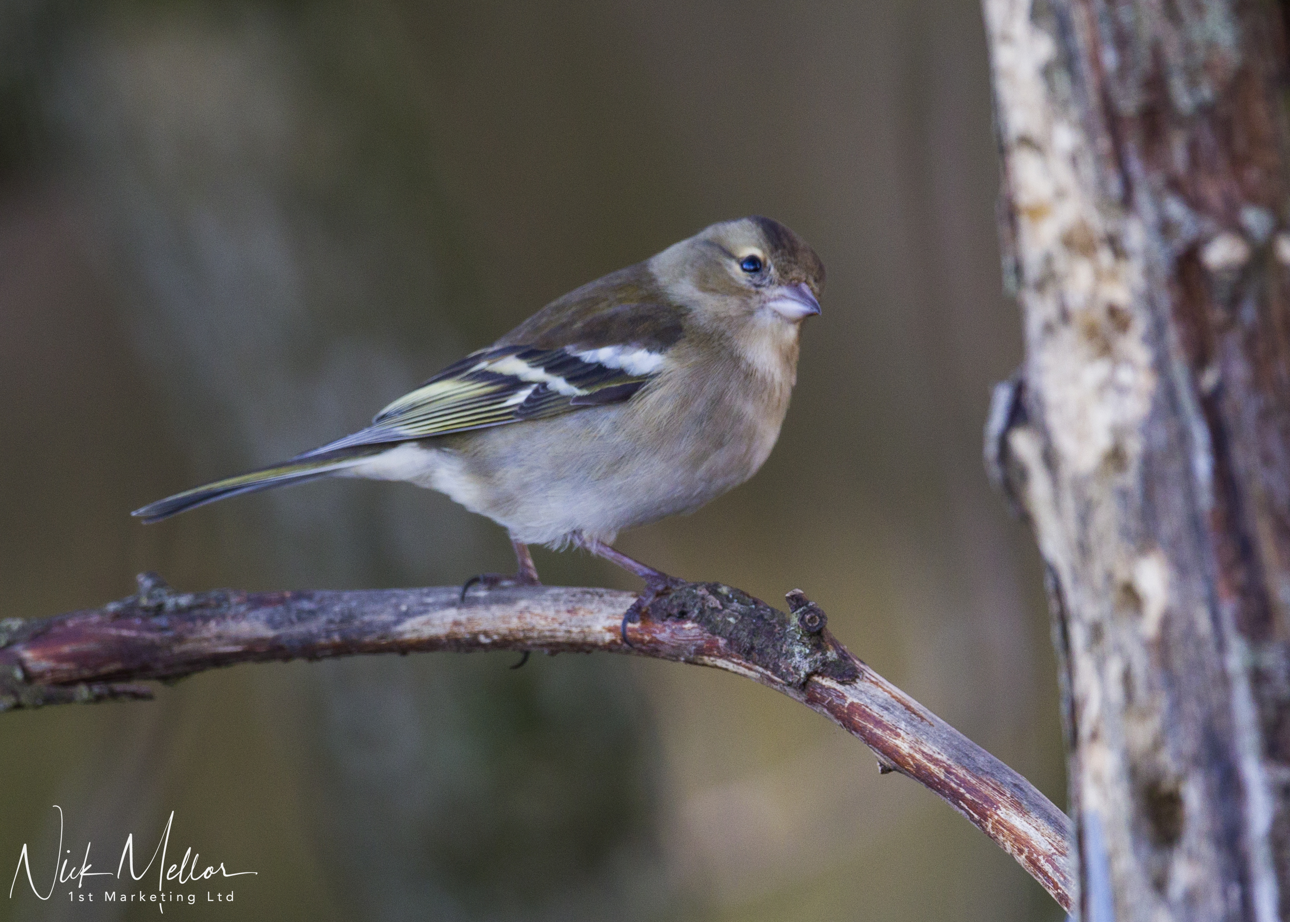 Female Chaffinch2