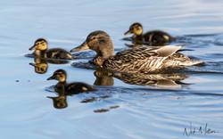 Female Mallard & Chicks