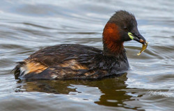 Little Grebe with lunch