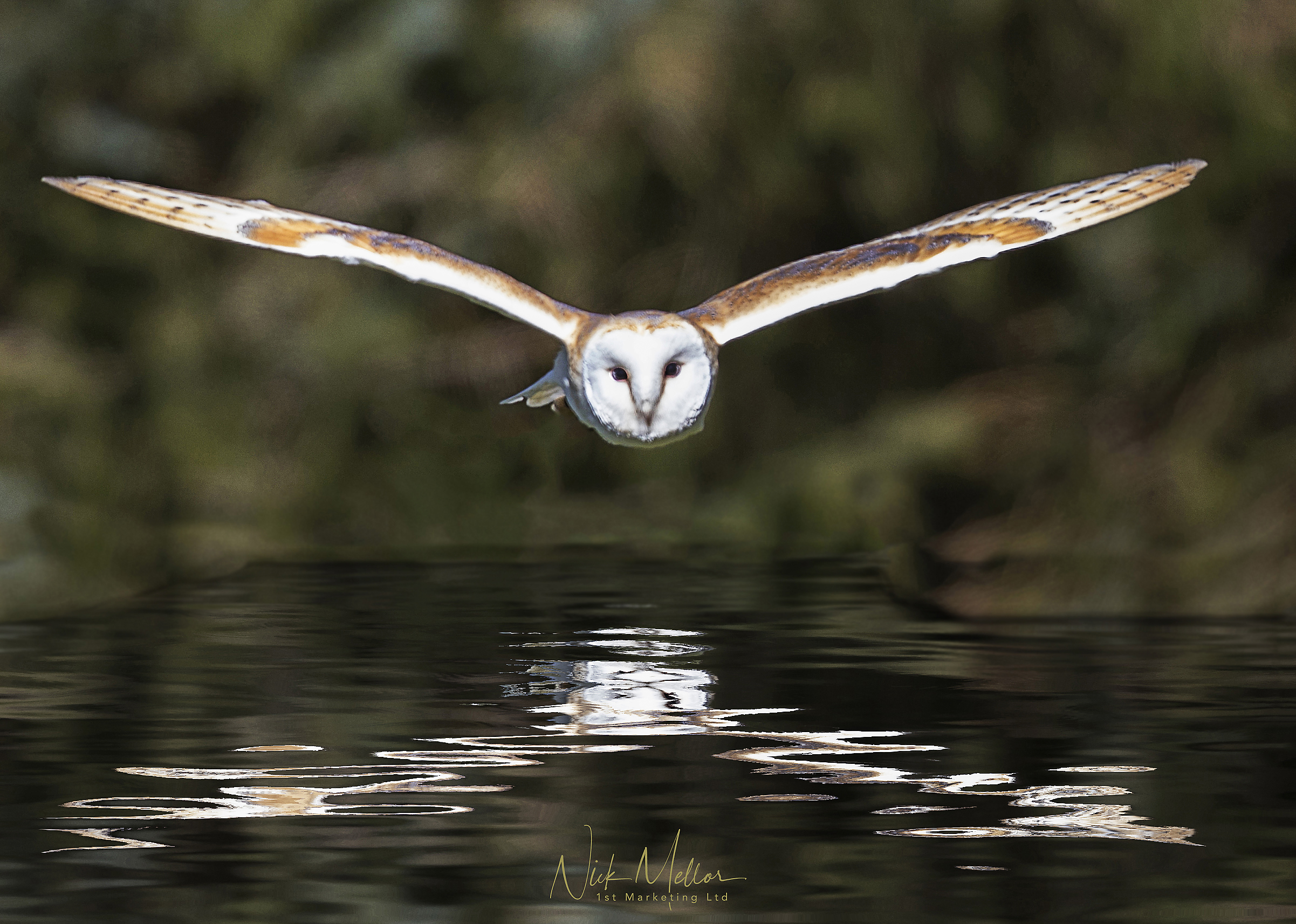 Barn Owl over water