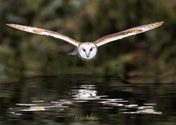 Barn Owl over water